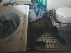 Intruder in bathroom turns out to be mountain lion