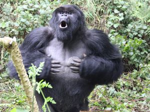 A male gorilla chest beating