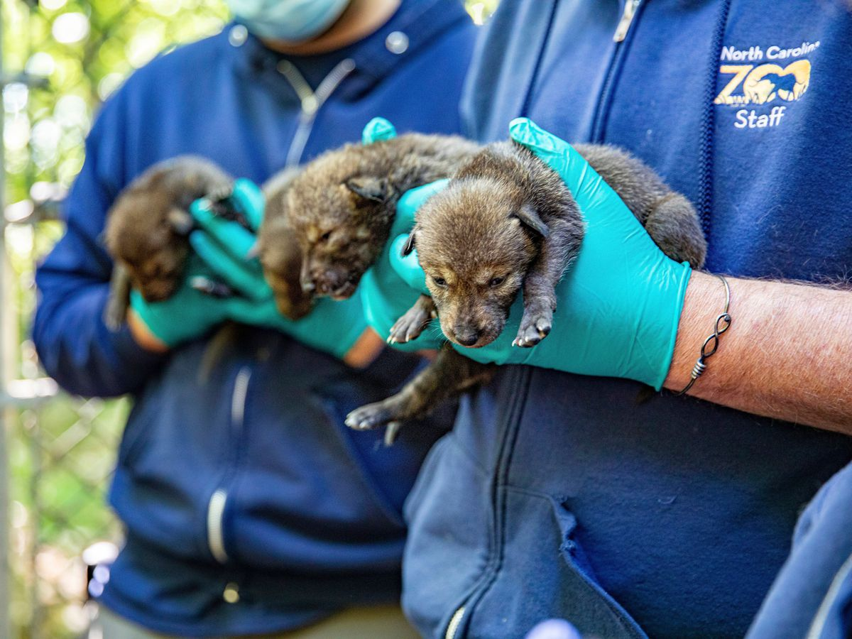 Several American red wolf pups were born at a zoo in late April
