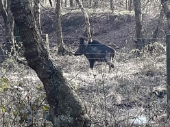 Warning to residents over wild boar in area
