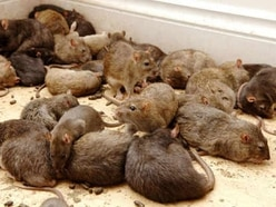 Wolverhampton could be plagued by rats after pest budget is slashed, campaigners warn