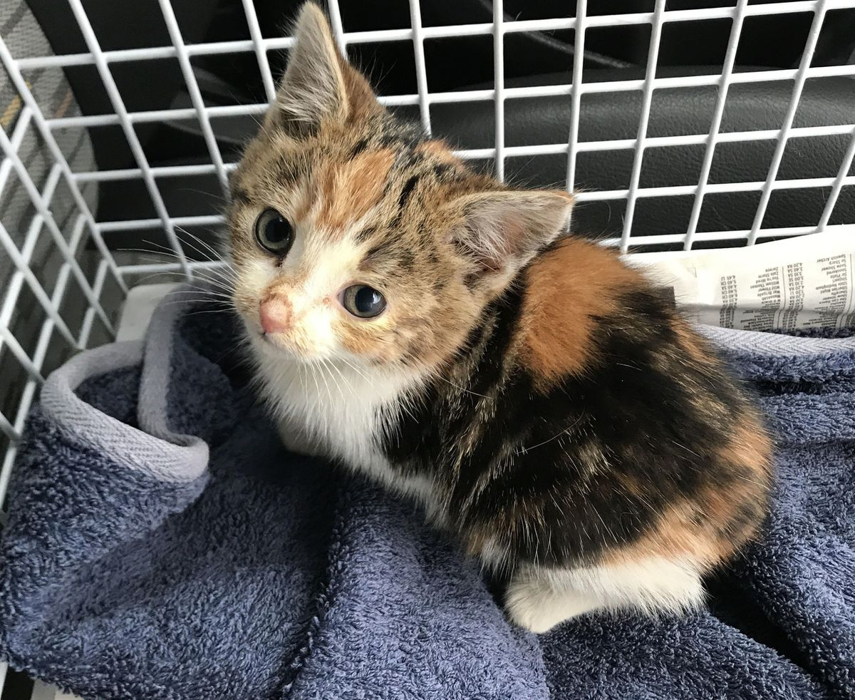The six-week-old cat, now fittingly renamed Piper, was discovered trapped with another kitten by a passing member of the public on an industrial estate in Stafford. Pic: RSPCA/PA
