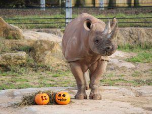 Nandi enjoying pumpkins