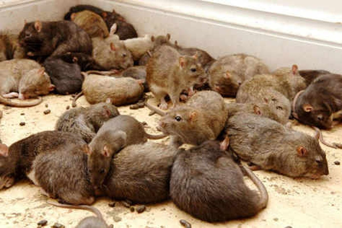Is the West Midlands becoming plagued by rats?