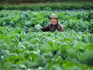 Richard Simkin, owner of Essington Farm, checks on his huge field of sprouts as he anticipates panic buying for Christmas dinners this year