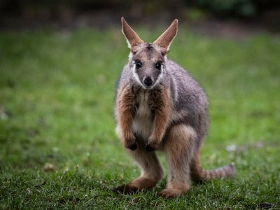 Baby wallaby seen out of mum's pouch for first time at Yorkshire's Flamingo Land