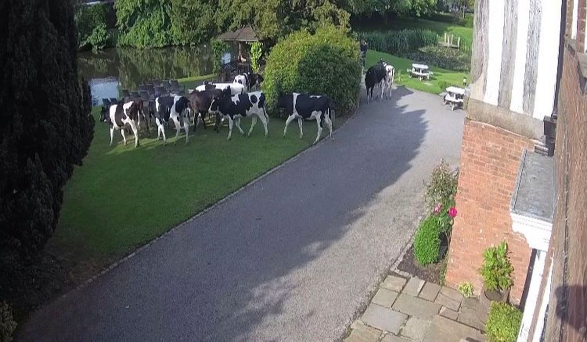 The cattle in The Moat House grounds