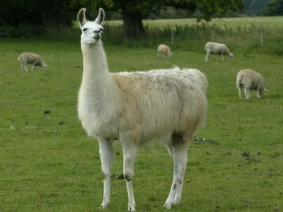 Engineered llama antibodies neutralise coronavirus, study suggests