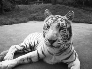 Tubs the white tiger died after a short illness