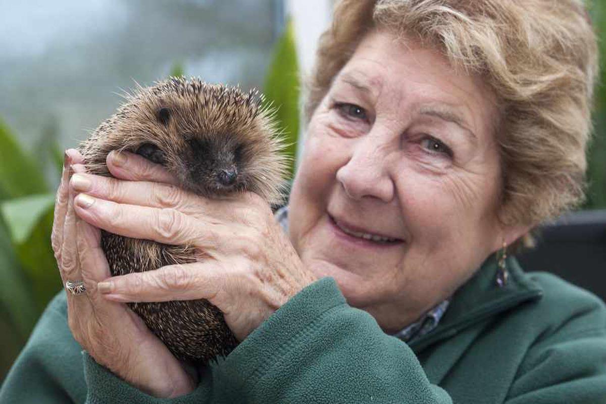 Hedgehog in a prickle is rescued