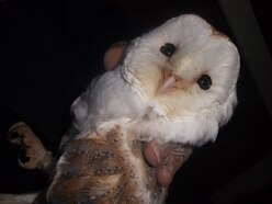 Illegal Walsall bird trader caught selling wild barn owls