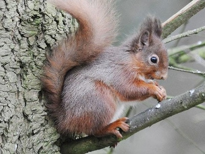 Red squirrels make comeback on estate after near-extinction through deadly virus