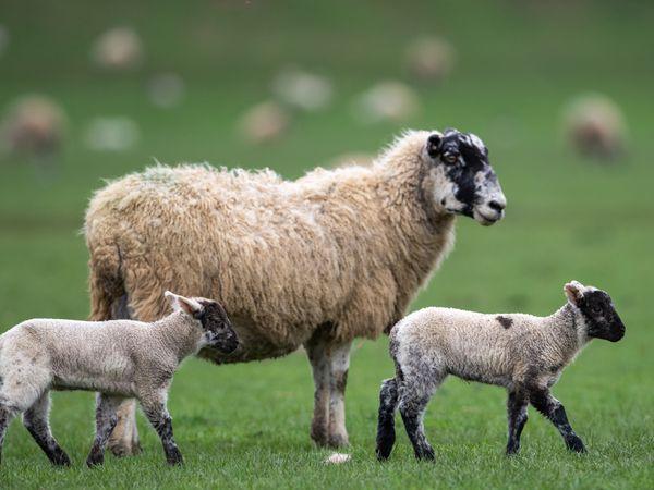 Sheep and lambs in Northamptonshire (Joe Giddens/PA)