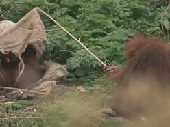 Watch this orangutan poke her aunt with a stick in an adorable bid for attention