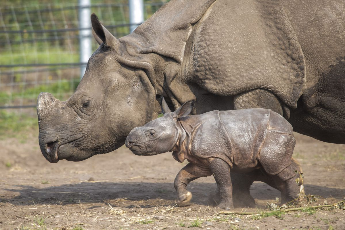 Inesh, West Midland Safari Park's first Indian Rhino calf, with mother Seto