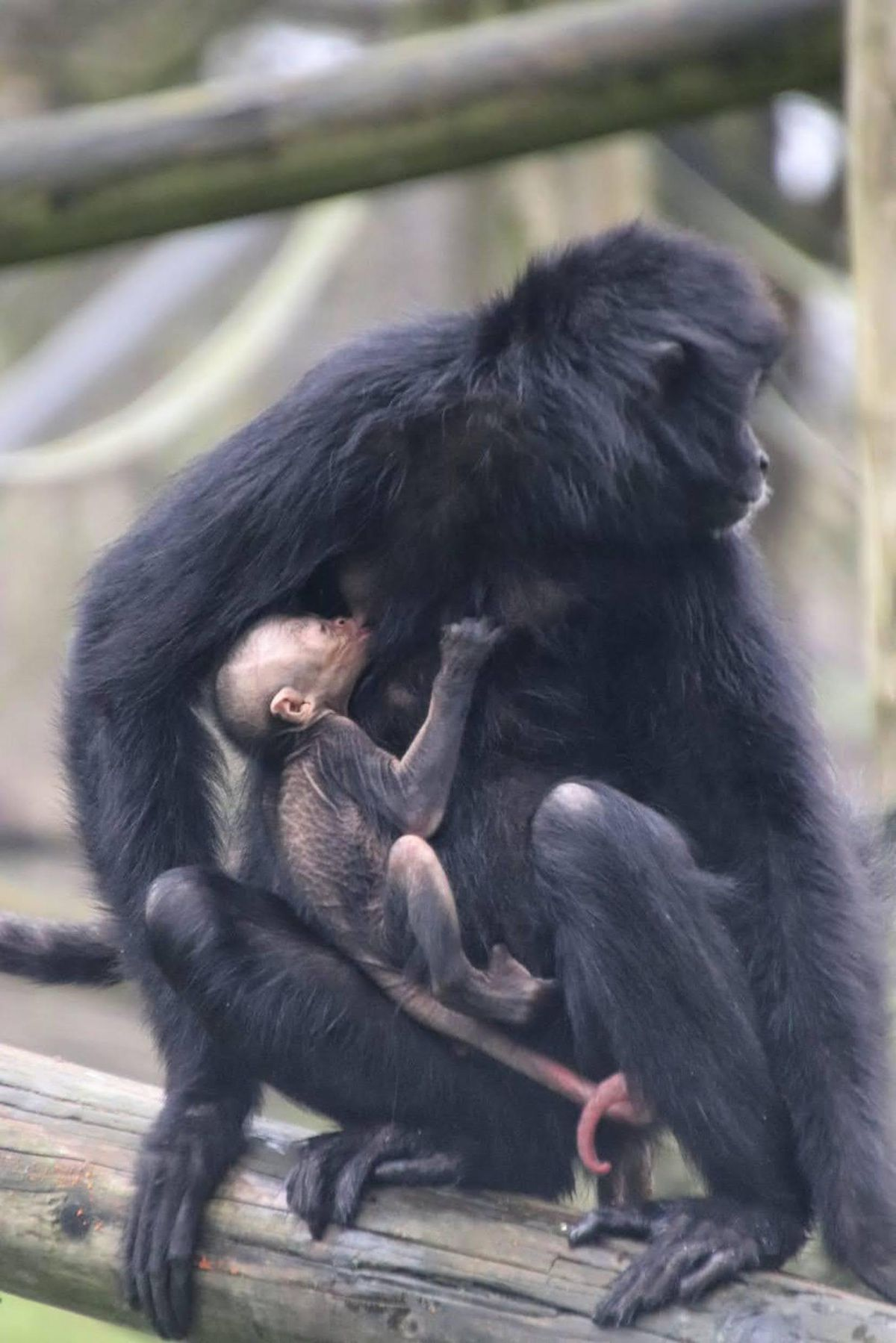 The critically endangered Columbian black spider monkey baby was born at Dudley Zoo and Castle last week