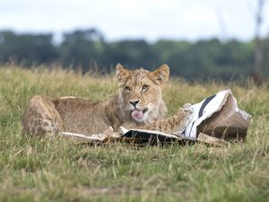 The lion cubs at West Midland Safari Park celebrated their first birthday with gift boxes and the park's adult lions