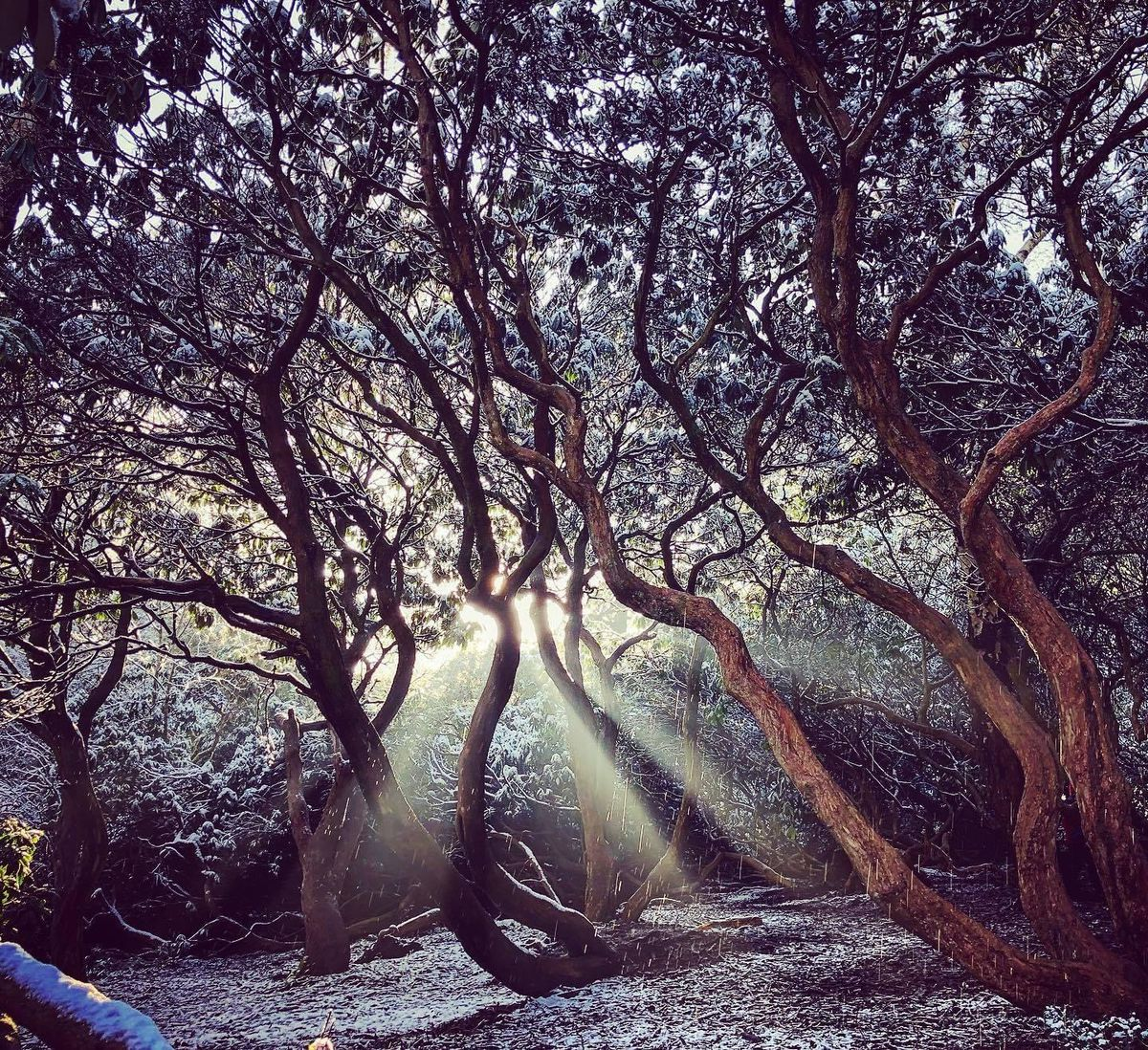 Sunlight through a snow dusted glade in Bunkers Hill Woods, Norton, Stourbridge. Photo: Emma Lichfield