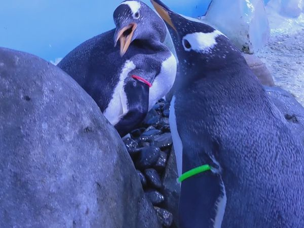 Penguins perform mating ritual