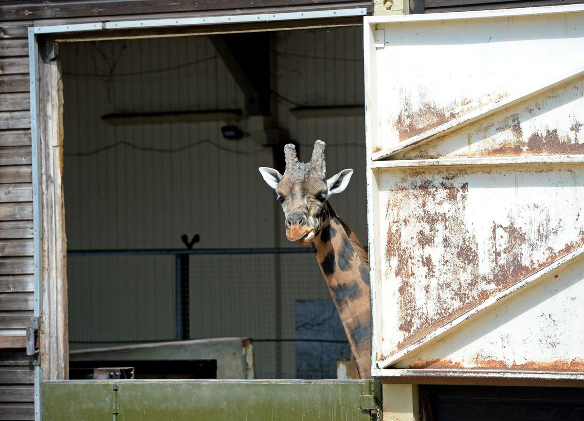 The coronavirus crisis could delay plans for a new giraffe enclosure