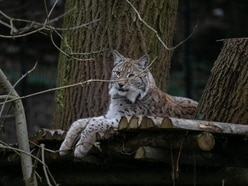 Camera donated by member of public captures secret life of lynx