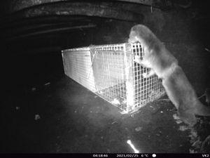 Otter investigating trap