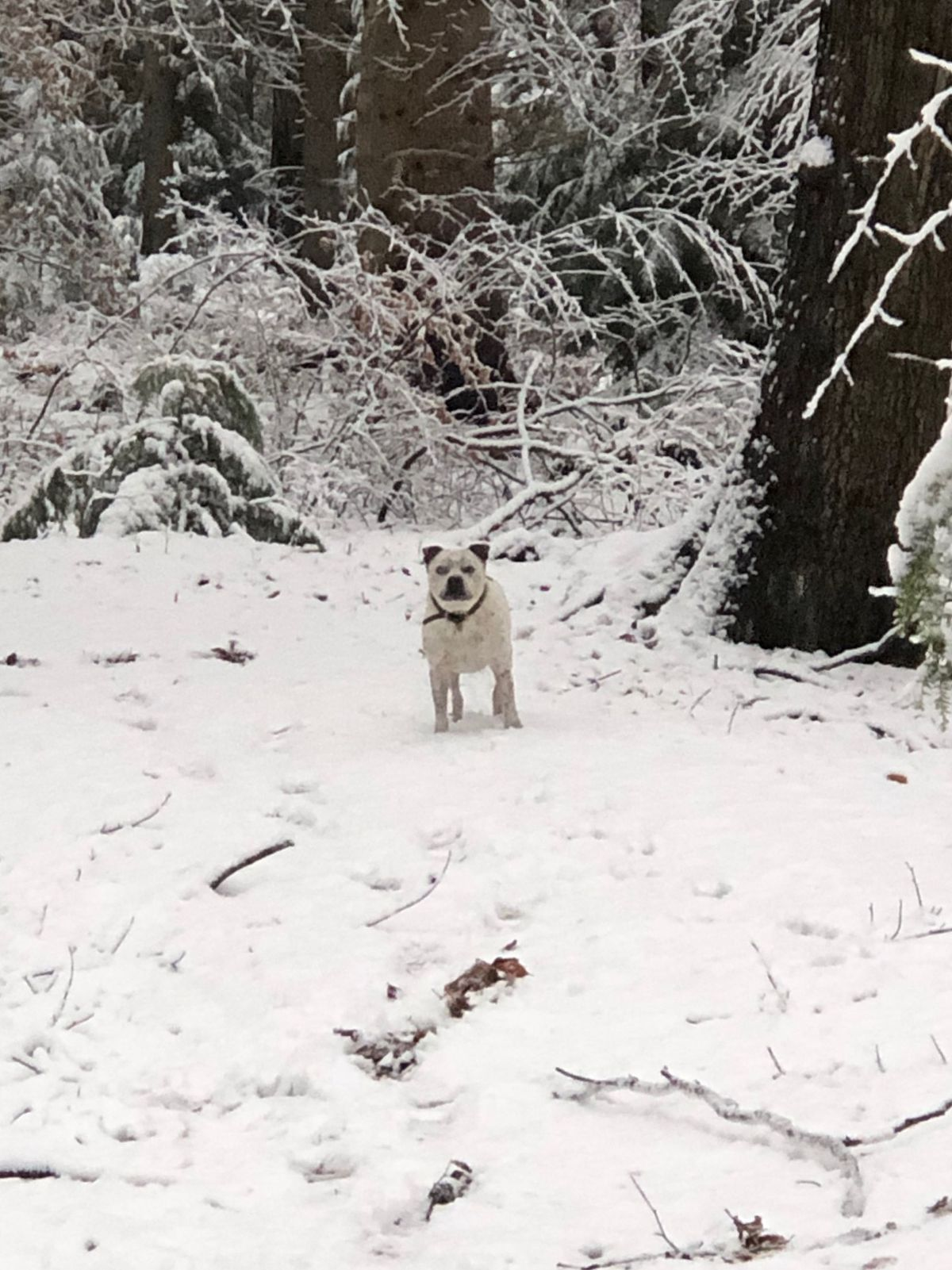 The Wyre Forest at Button Oak in Bewdley is a wonderland of white for dogs and humans to enjoy