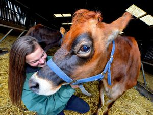 Pics at Sandwell Council's Forge Mill Farm, West Bromwich where they have new Jersey Cows. Pictured with Rosie is Farm Apprentice: Abbie Kiteley from West Bromwich