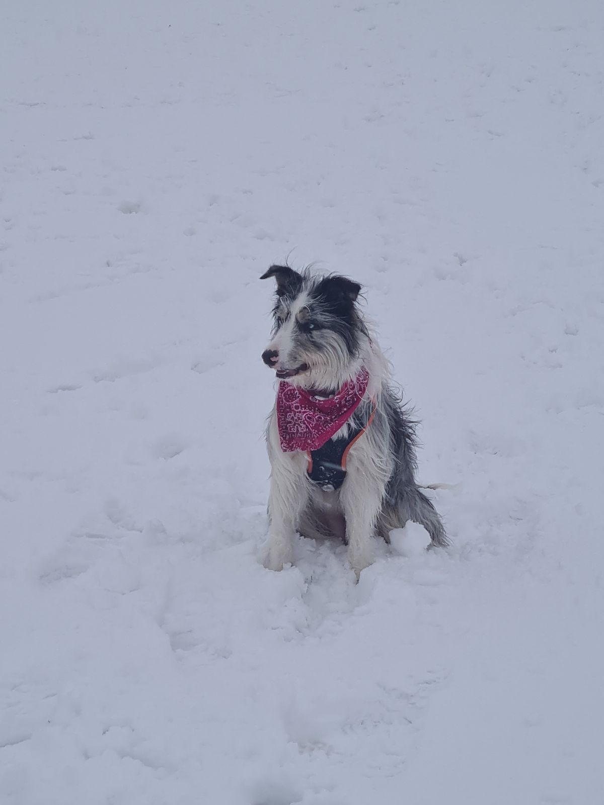 Winter the dog's first experience of snow, in Gornal. Photo: Stevianne Baines.