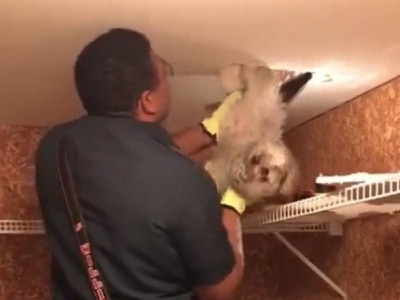 This poor pup got itself stuck in a ceiling duct
