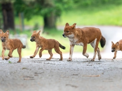 Adorable pups add to park's dhole pack