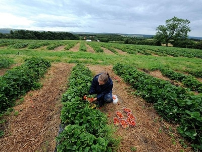 Ministers warned visa delays risk fruit rotting in Scottish fields