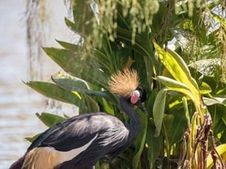 West African black-crowned crane parents welcome cute chick at Chester Zoo