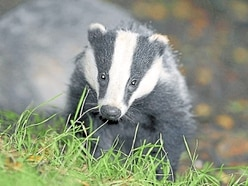 Anger as badger cull extended to Staffordshire