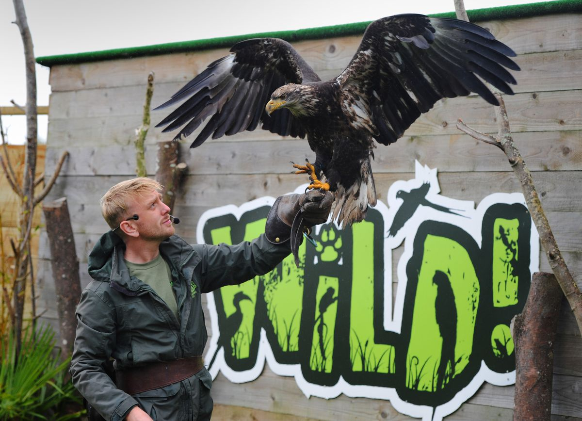 Director Zachary Hollinshead, with a bald eagle, at Wild Zoological Park, Halfpenny Green