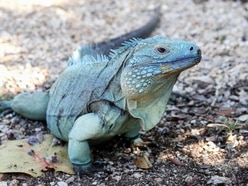 It's raining iguanas in Florida as reptiles fall from trees