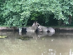 Pair of ponies rescued from Pattingham pond