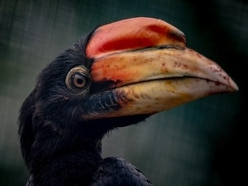 WATCH: First rare hornbill chicks in UK for 13 years hatch at Chester Zoo