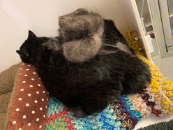 RSPCA finds cat so fat he cannot groom himself
