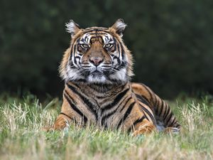 If plans are approved, the lodges will offer an overnight stay with the Sumatran tigers