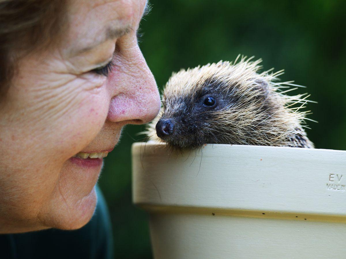 Joan Lockley, fondatrice de West Midlands Hedgehog Rescue