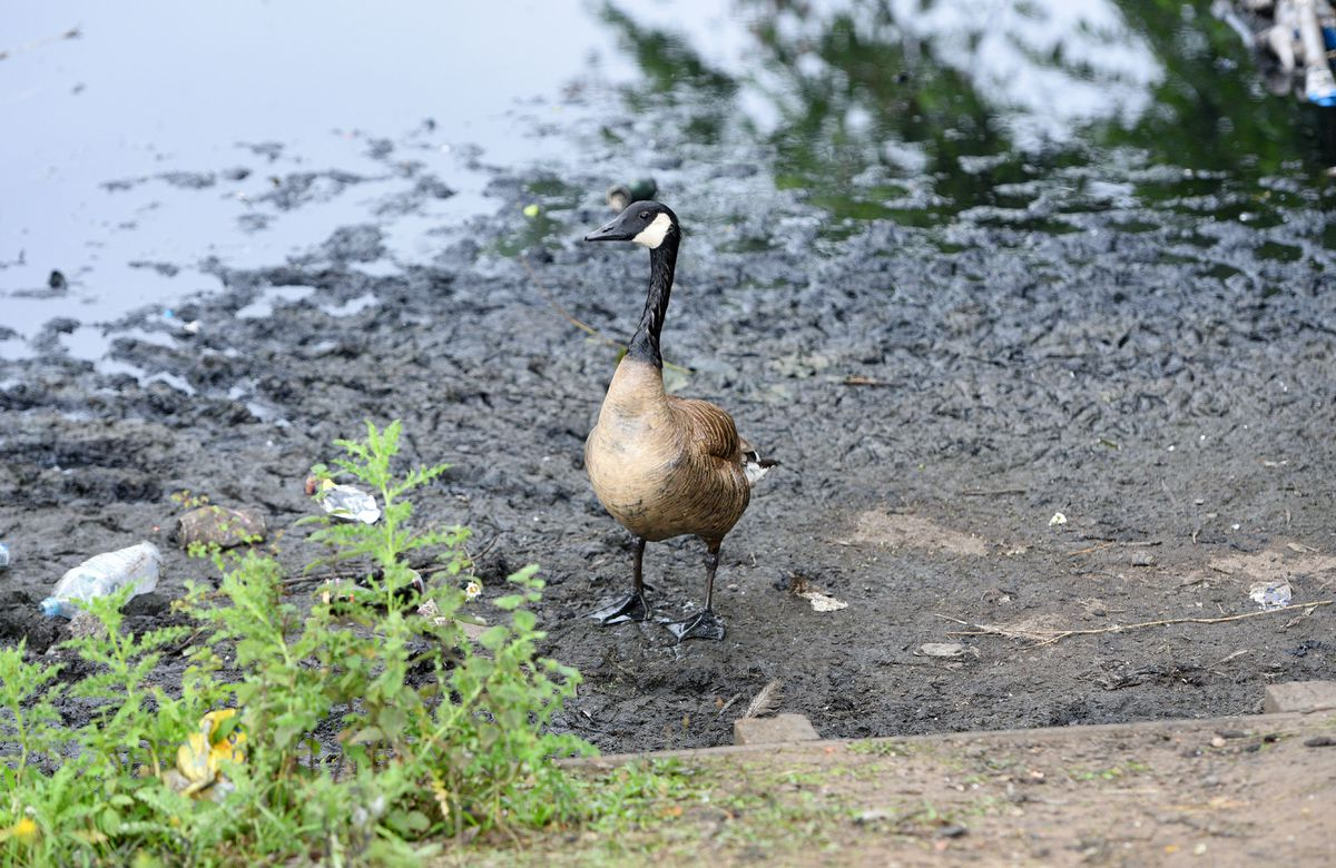 A goose stands on the hardened raw sewage