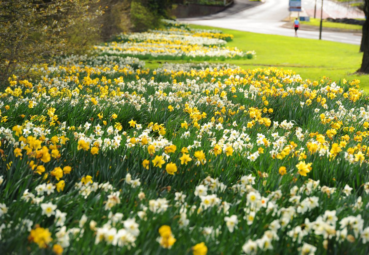 Daffodils in Wall Heath