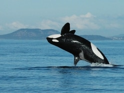 Granny knows best: Key role of post-menopause killer whale grandmothers revealed