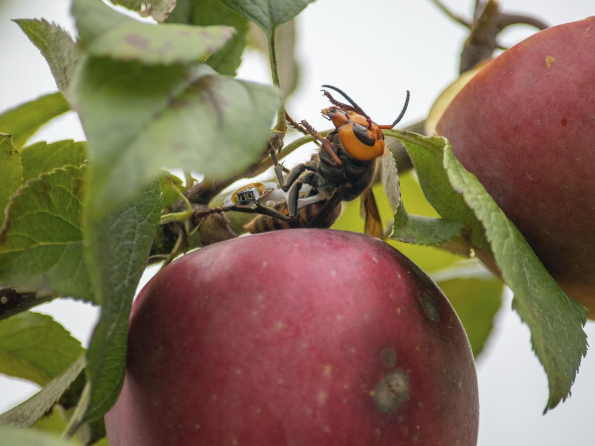 A live Asian giant hornet with a tracking device affixed to it sits on an apple in a tree where it was placed, near Blaine, Washington state, US (Karla Salp/AP)