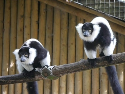 Names revealed for Dudley Zoo ruffed lemurs
