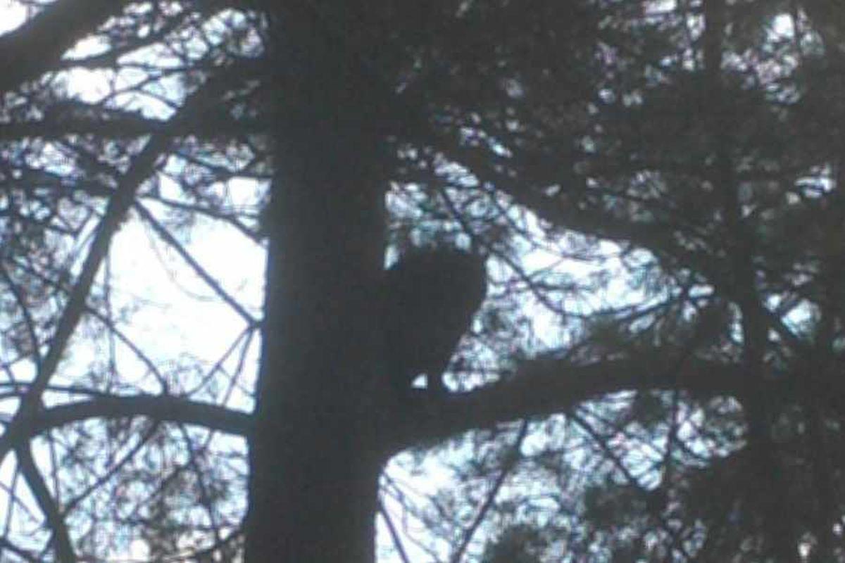 Wild cat sighting on Cannock Chase