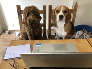 Waffle and Gareth working from home with their owner, Express & Star chief reporter Megan Archer