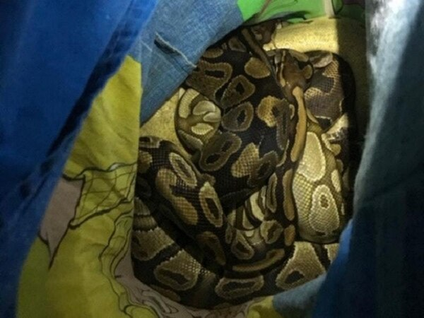 Abandoned bundle turns out to be nest of snakes hidden in Toy Story pillowcase