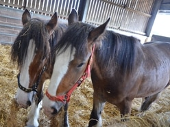 What should these new Shire horses in West Bromwich be named?